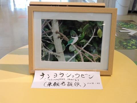 ナンヨウショウビン来館者提供①DSCN8836.jpg